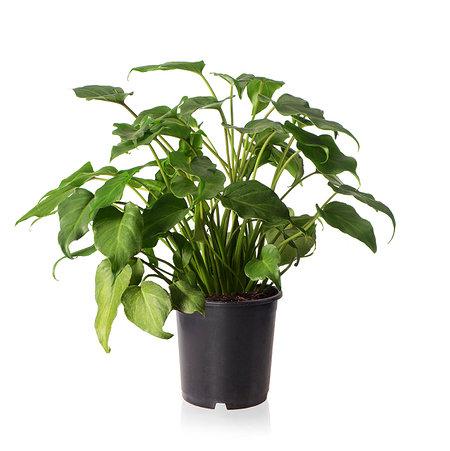 Sense of Home Zimmerpflanze Philodendron xanadu