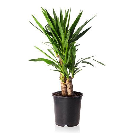 Sense of Home Zimmerpflanze Yucca-Palme