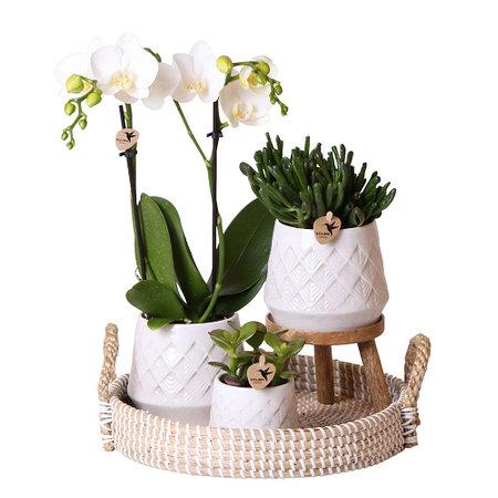 "Sense of Home Zimmerpflanzen-Set ""Charming Orchid"""