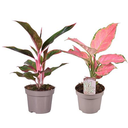"""Sense of Home Zimmerpflanzen-Set """"Pink Beauties"""""""