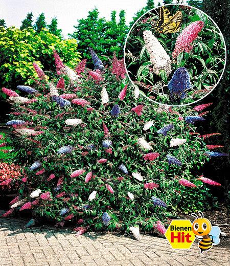 "Sommer-Flieder ""Papillion Tricolor"",1 Pflanze"