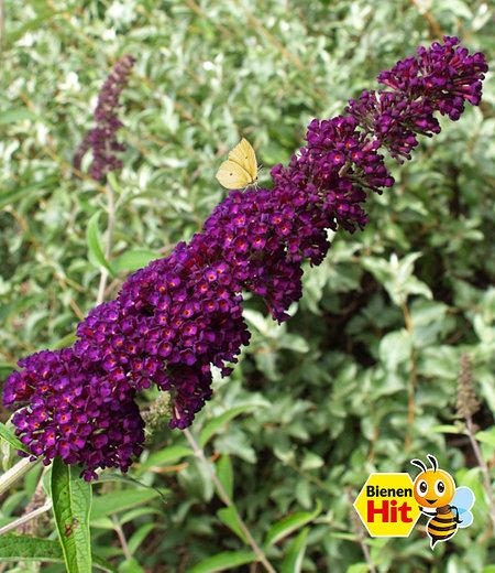 "Sommerflieder ""Black Knight""; 1 Pflanze"