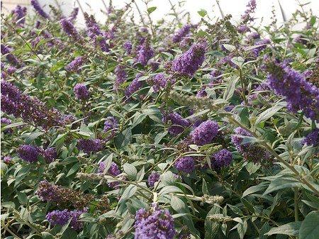 Sommerflieder, Schmetterlingsstrauch 'Blue Chip'®