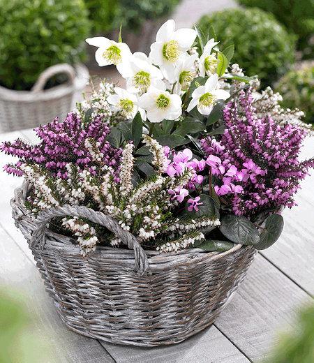 Sortiment Winterzauber, 4 Pflanzen