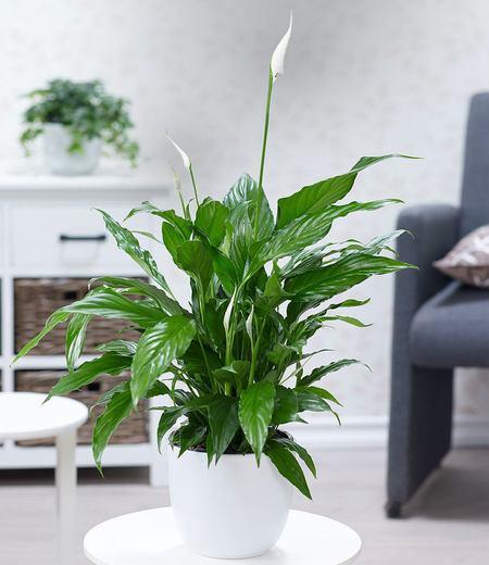 Spathiphyllum im 60 cm hoch,1Pflanze