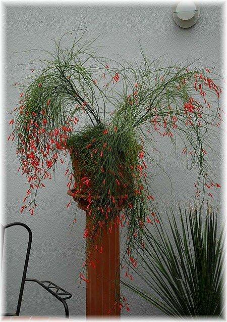 Springbrunnenpflanze Russelia equisetiformis