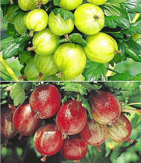 Stachelbeer-Sträucher-Set,2 Pflanzen