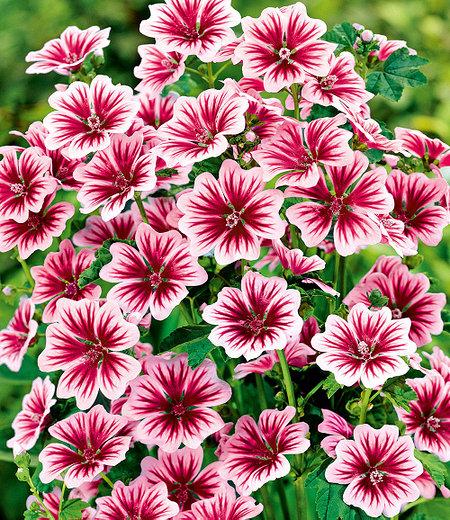 """Stauden-Malve """"Zebrina"""",3 Pflanzen"""