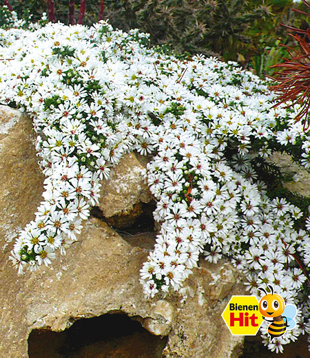 "Steinaster ""Snowflurry"",1 Pflanze"