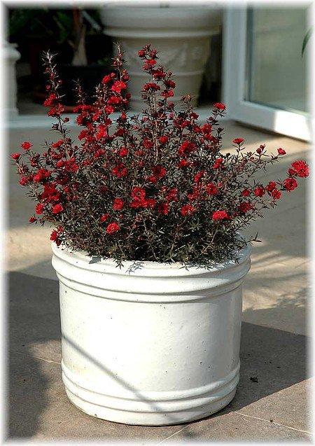 Südseemyrte Leptospermum scoparium ´Red Damasque`
