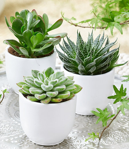 Sukkulenten 3er-Mix,3 Pflanzen