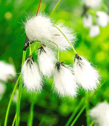 Teichpflanze Seidiges Wollgras; 3 St.