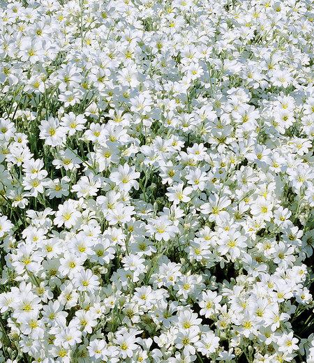 Teppich-Hornkraut,3 Pflanzen