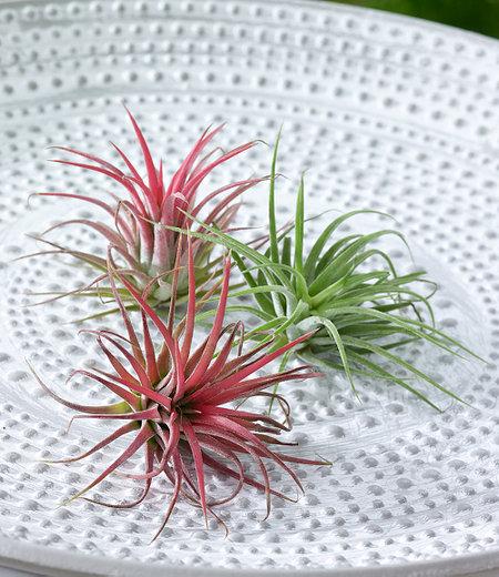 Tillandsien Mix,3 Pflanzen