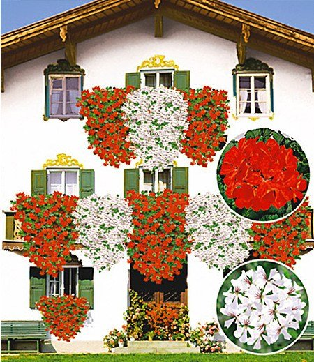 Tiroler Hänge-Geranien-Kollektion, 12 Pflanzen