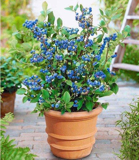 "Topf-Heidelbeere ""Blue Parfait"",1 Pflanze"