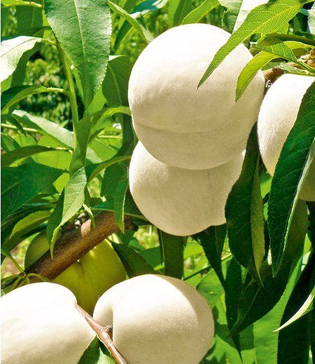 "Weißer Pfirsich Fruit Me® ""Icepeach"" F1,1 Pflanze"