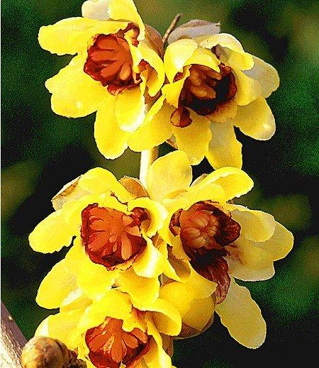 Winterblüte,1 Pflanze