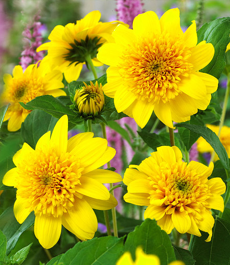 """Winterharte gefüllte Sonnenblume """"HAApy Days"""",1 Pflanze"""