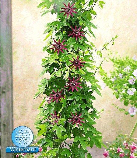 "Winterharte Passionsblume ""Ladybirds Dream"",1 Pflanze"