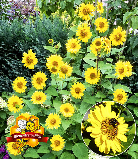 "Winterharte Sonnenblume ""SunCatcher®"",1Pflanze"