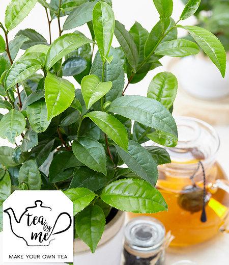 """Winterharte Teepflanze """"Tea byme®"""",1 Pflanze"""