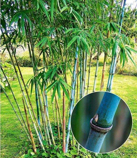 Winterharter BambusBlue Dragon,1 Pflanze