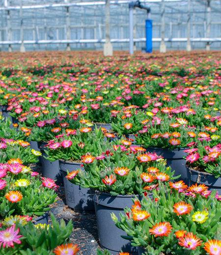 Winterharter Eisblumen-Mix imXXL Topf,1 Pflanze
