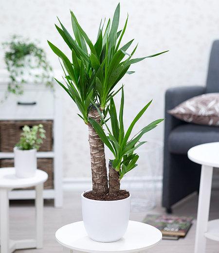 Yucca Palme ca. 70 cm hoch,1 Pflanze