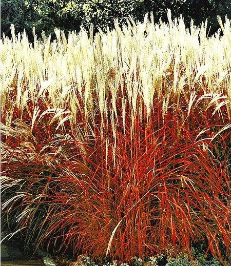 "Ziergras ""Indian Summer"",1 Pflanze"