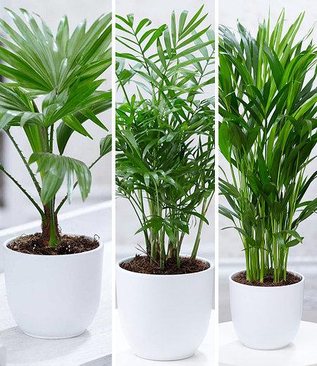 Zimmerpalmen-Set,3 Pflanzen