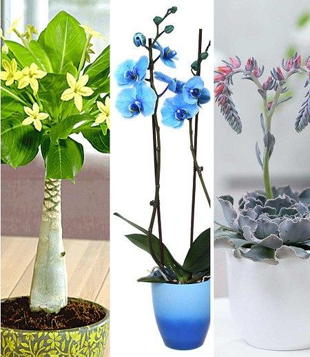 Zimmerpflanzen-Mix Blühende Lieblinge,3 Pflanzen