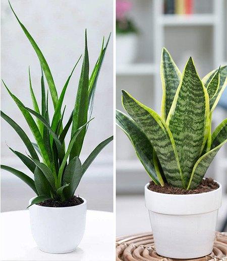 Zimmerpflanzen-Mix Bogenhanf-Duo,2 Pflanzen