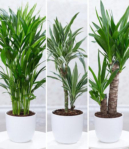 Zimmerpflanzen-Mix Palme XXL,3 Pflanzen