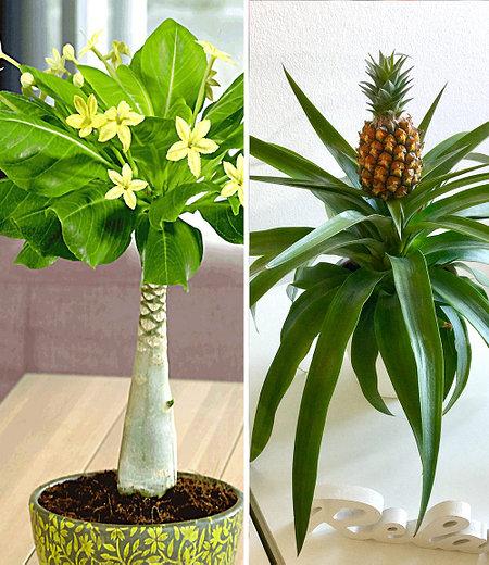 Zimmerpflanzen-Mix Südsee,2 Pflanzen
