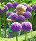 "Allium ""Globemaster"",1 Stück (1)"
