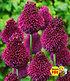"""Allium """"Roter Zuckerhut"""",25 Zwiebeln (1)"""