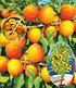 """Aprikose """"Compacta Super Compact®"""",1 Pflanze (1)"""
