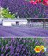 Blauer Lavendel-Mix,9 Pflanzen (1)