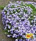 Blauer Teppich-Phlox,3 Pflanzen (1)