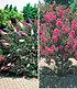 Blüten-Sträucher-Kollektion, 2 Pflanzen (1)