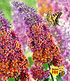"""Buddleia """"Flower-Power®"""" Groß,1 Pflanze (1)"""