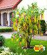 Chimären-Goldregen,1 Pflanze (1)