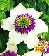 """Clematis """"Florida Sieboldii"""",1 Pflanze (1)"""