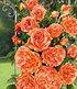 "Delbard Kletterrose ""Papi Delbard®"",1 Pflanze (1)"
