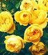 """Delbard Rose der Liebe """"Souvenir de Marcel Proust®"""",1 Pflanze (1)"""