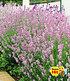 "Duft-Lavendel ""Rosa"", 3 Pflanzen (1)"