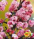 "Duft-Schneeball ""Dawn"",1 Pflanze (1)"