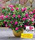 """Durchblühende Azalee """"Bloom Champion"""" purple, 1 Pflanze (1)"""
