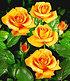 """Edelrose """"Maja Oetker®"""",1 Pflanze (1)"""
